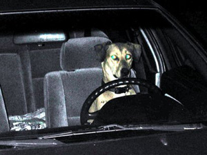Dog with comical expression sat at steering wheel