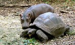 Small hippo and tortoise