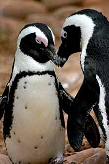 Two penguins, <a href=