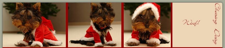 Three shots of a gorgeous miniature dog wearing a hooded santa jacket.